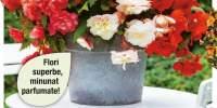 Mix de begonii parfumate