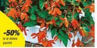 Begonia Tanais