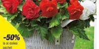 Mix de begonii batute cu flori mari