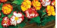 Begonia crispa