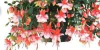 Fuchsia El Camino