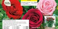 Trandafiri de gradina cu flori mari