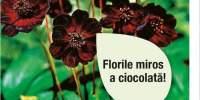 Cosmos Ciocolata