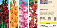 Gladiole cu flori mari
