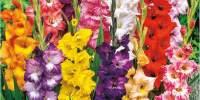 Mix de gladiole cu flori mari