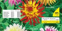 Dalii cu flori mari - Mix decorativ