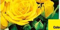 Trandafir Arthur Bell