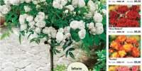 Trandafiri parfumati
