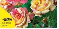 Trandafir cu flori mari Candy Stripe