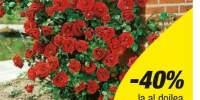 Trandafir catarator Santana