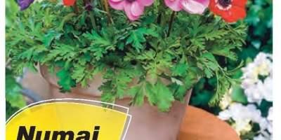 Mix de anemone De Caen