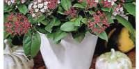 Floare Viburnum