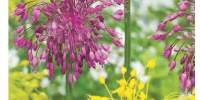 Mix Allium Caramba