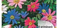Mix de anemone orientale
