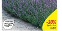 Levantica parfumata Munstead