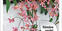Clematita Apple Blossom